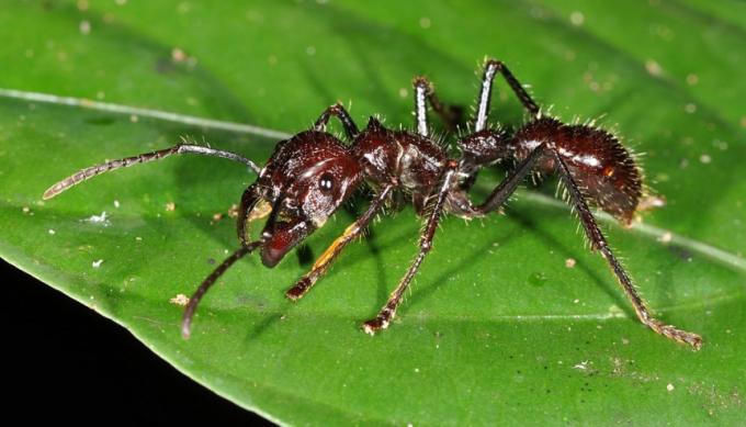 """Người khổng lồ trong thế giới loài kiến này có thể dài tới 2,5 cm, với ngoại hình khá đáng sợ và dữ dằn. Chúng khá hiền lành nhưng không ngần ngại tấn công nếu bị kích động. Từ tổ trên cây, chúng thả người xuống và cắn nạn nhân. Vết cắn của chúng được mô tả là """"như đi trên than hồng với đinh cắm trong gót chân"""" và cơn đau sẽ kéo dài tới 24 tiếng. Bạn sẽ mất mạng nếu bị sốc phản vệ, còn thường thì sẽ chỉ bị nôn và tê liệt tạm thời. Điều đáng sợ là một con có thể cắn nhiều lần một giây và sẽ tiết ra một chất khiến những con khác tấn công nạn nhân."""