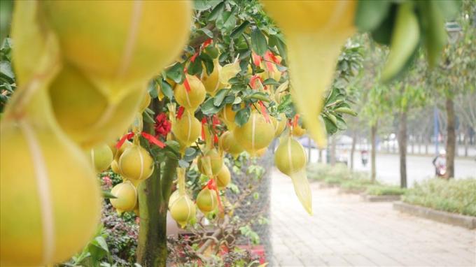Đây là giống bưởi Diễn được các thương lái vận chuyển từ miền Bắc vào. Ở miền Nam, tuy có thể trồng được loại bưởi này nhưng hiếm khi đạt chuẩn về kích thước hay màu sắc vàng đẹp như yêu cầu.