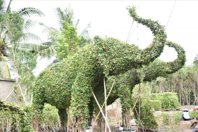 Nghệ nhân Năm Công đã cho ra đời hàng ngàn tác phẩm cây kiểng tạo hình những con thú rất độc đáo, như: 12 con giáp, voi, song mã… Gần đây ông cho ra đời nhiều kiểu dáng nhà mát như lục giác, bát giác, nhà dài, nhà miền Tây… Trong ảnh: Cặp voi kiểng của nghệ nhân Năm Công đã thành hình.