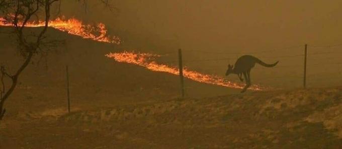 Một chú chuột túi đứng nhìn lửa đang lan rộng và không thể chạy đi đâu do vướng hàng rào ngăn gia súc.