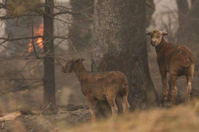 Những con cừu của nông dân bị cháy hết lông và bị bỏng nặng đang đứng chơ vơ ở một vạt rừng sau đám cháy.