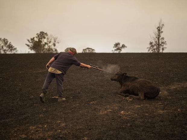 Khoảnh khắc đau lòng khi người nông dân buộc phải kết liễu chú bò của mình, nhằm chấm dứt nỗi thống khổ của con vật đáng thương.