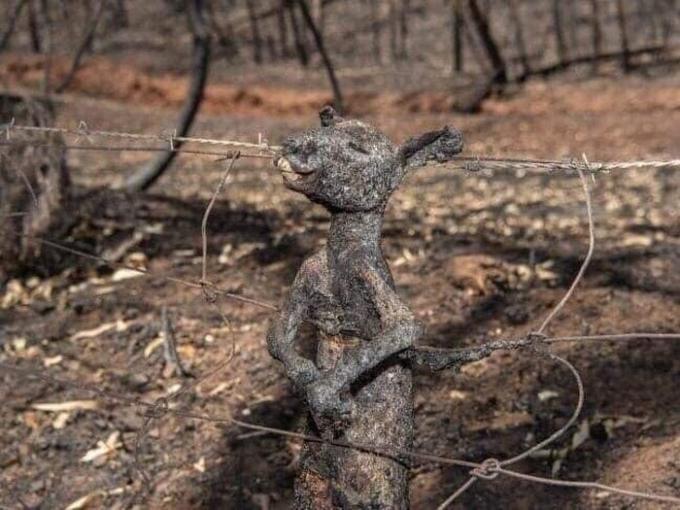Các nhà sinh thái học đến từ Đại học Sydney, lưu ý rằng con số thực tế có thể sẽ còn cao hơn, do những đám cháy vẫn chưa được dập tắt. Trong hình là một chú chuột túi đặc trưng của Australia bị chết cháy thương tâm khi đang tìm đường thoát thân nhưng vướng phải lưới thép gai ngăn rừng và khu nuôi gia súc của nông dân.