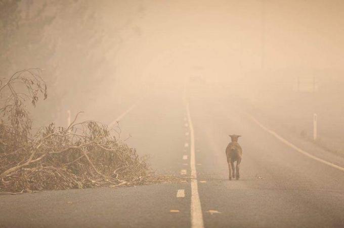 Một con cừu bị cháy hết lông đang chạy dọc theo con đường vắng.