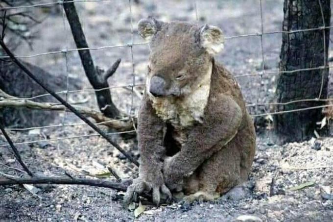 Chú gấu túi may mắn thoát chết nhưng đã quá kiệt sức.
