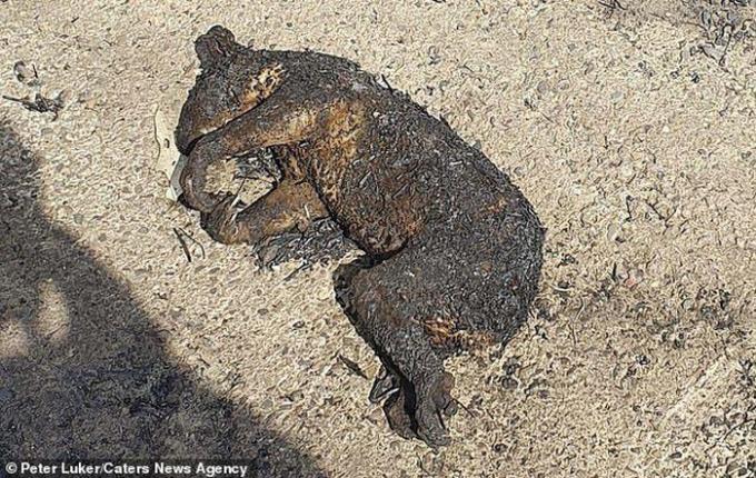 Một chú gấu túi không may mắn...