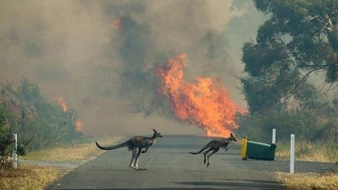 Hai chú chuột túi đang chạy trốn lửa rừng, băng qua một con đường để tìm nơi an toàn.