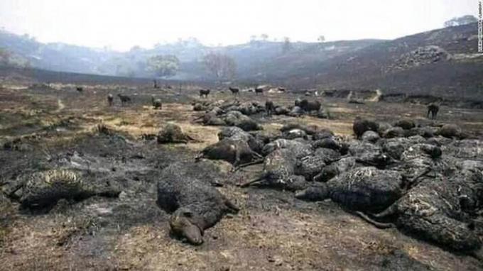 Một bầy cừu nuôi chết sạch chỉ còn lại vài con thưa thớt nhưng bị bỏng nặng đang cố gắng sinh tồn.