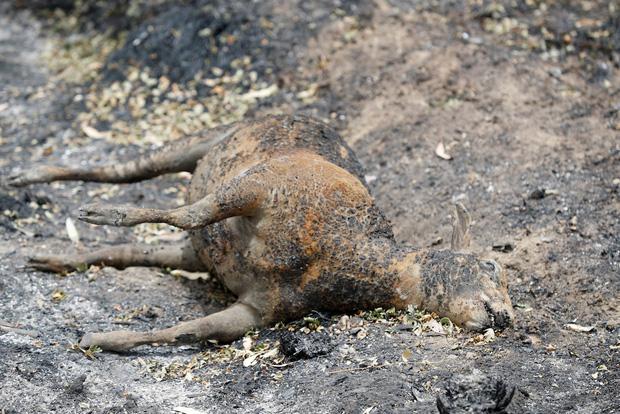 Gần nửa tỷ sinh vật bị thiêu rụi mà chưa kịp chạy thoát.
