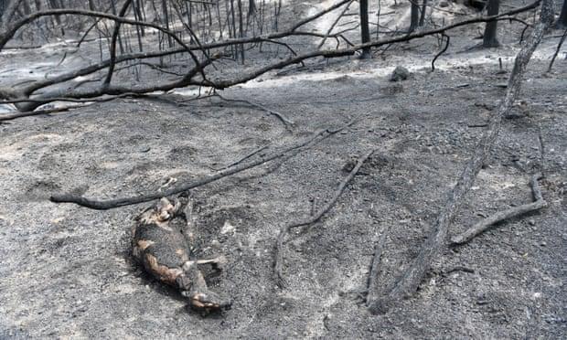 Kangaroo bị thiêu rụi trong đám cháy.