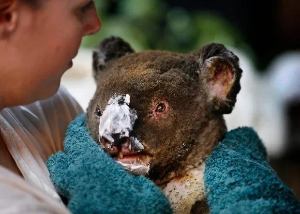 Một con koala bịbỏng nặng.