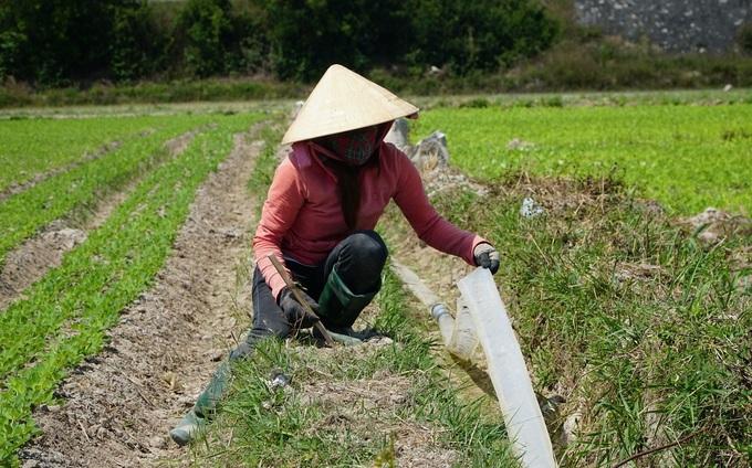 Chị Phạm Thị Thấm dẫn nước về tưới 7 sào đậu, chuyển đổi từ đất lúa. Ảnh:VnExpress