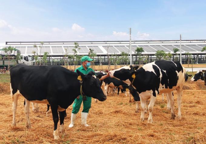 Bò sữa được đi dạo trong khu sân chơi được trải đệm rơm tại Trang trại Vinamilk Quảng Ngãi.