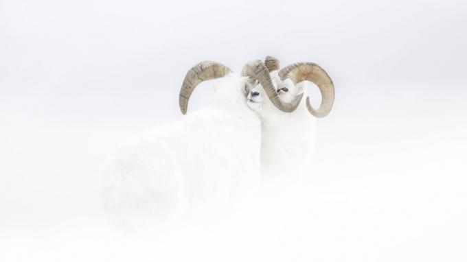 Giải thưởng triển vọng cho chùm ảnh: Jérémie Villet đã dành một tháng mùa đông để quan sát cừu núi Bắc Mỹ ở Yukon, tây bắc Canada.