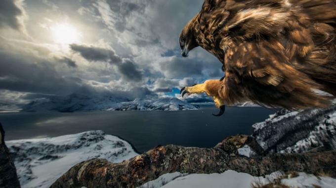 Giải thưởng cho các tác phẩm chụp loài chim:Audun Rikardsen đặt máy và tripod cố định trên một nhánh cây gần tổ của con đại bàng Na Uy này, có cảm biến với từng chuyện động của nó. Phải mất 3 năm con đại bàng mới quen với sự chuyển động của máy ảnh và bắt đầu tiến gần hơn trên cành cây, ngó nghiêng khám phá phía dưới.