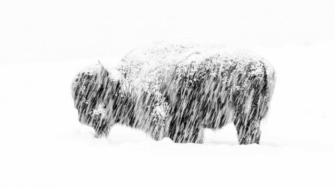 Giải thưởng ảnh đen trắng:Max Waugh ghi lại khoảnh khắc đơn độc của một con bò rừng châu Mỹ ở công viên quốc gia Yellowstone National Park trong một trận tuyết