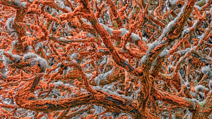 Giải thưởng cho ảnh chủ đề thực vật: 2 nhánh cây bách xoắn vào nhau trong khuKhu bảo tồn thiên nhiên bang Point lobos của California (Mỹ). Bức ảnh của nhiếp ảnh gia Zorica Kovacevic.