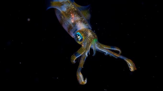 Giải thưởng cho độ tuổi từ 11-14: CậuCruz Erdmann người đã lặn xuống một rặng san hô ở biển Indonesia và chụp được hình ảnh phát sáng của một chú mực