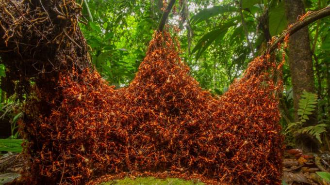Giải thưởng cho ảnh chụp động vật không xương sống:Nhiếp ảnh gia Daniel Kronauer bắt được khoảnh khắc một đàn kiến đang hành quân đầy kỷ luật trong một khu rừng nhiệt đới ở phía đông bắc Costa Rica.