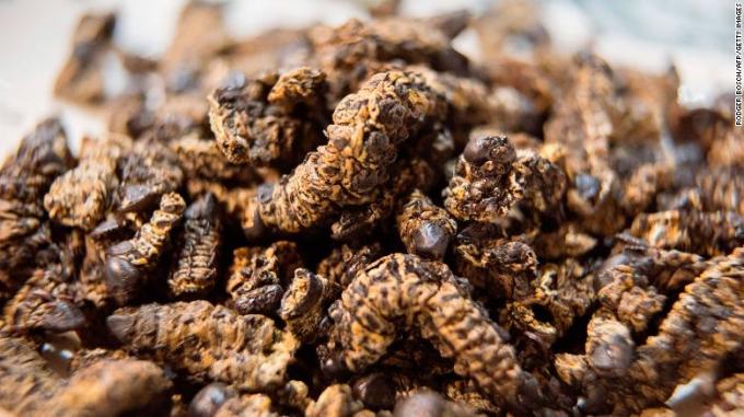 Loại sâu bướm này có tới 60% protein, 17% chất béo. Trông chúng như một điếu xì gà phơi khô, có thể nghiền bột ăn dần.