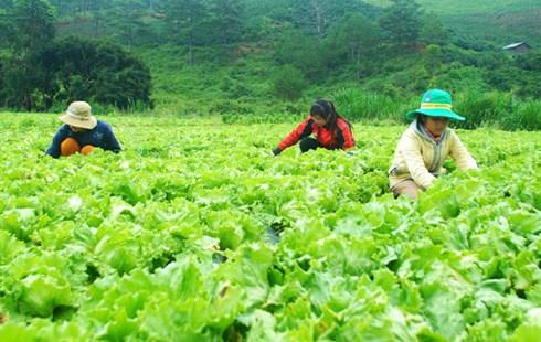 Giá rau Đà Lạt đang rẻ như cho, nông dân ngậm ngùi nhổ bỏ