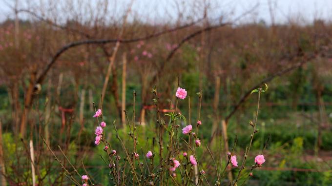Hoa đào khoe sắc sớm tại làng Nhật Tân