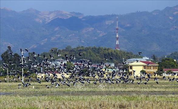 Hình ảnh đàn cò nhạn xuất hiện ở Điện Biên 4 ngày qua.