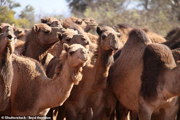 Lạc đà hoang trên sa mạc Simpson ở miền trungnước Úc.