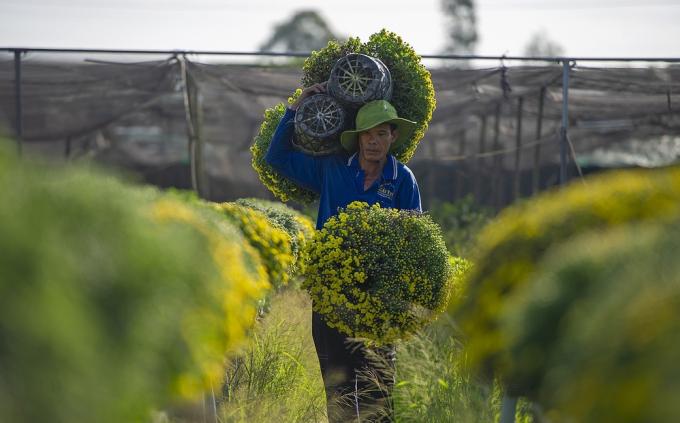 Cúc mâm xôi ở làng hoa lớn nhất miền Tây tăng giá kỷ lục