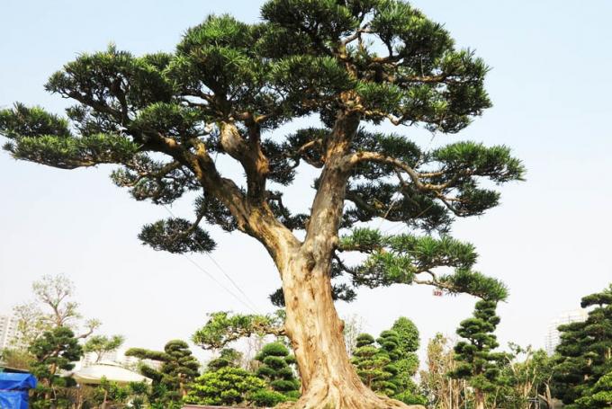 Cây tùng bonsai trị giá 6 tỷ đồng của người nông dân gốc Bình Định