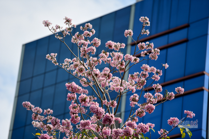 Thời điểm cây ra hoa,hầu hết lá đều rụng, trên đầu mỗi cành chỉ nhìn thấy những cụm hoa tím tím hồng hồng đẹp mắt.