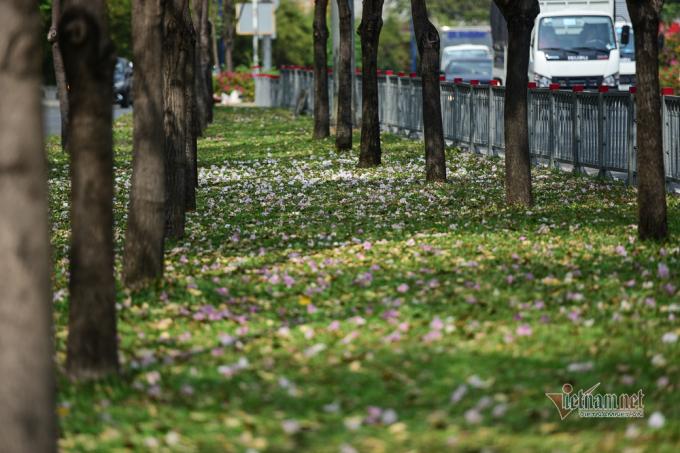 Hoa kèn hồng khoe sắc điểm tô cho các con phố ở Sài Gòn