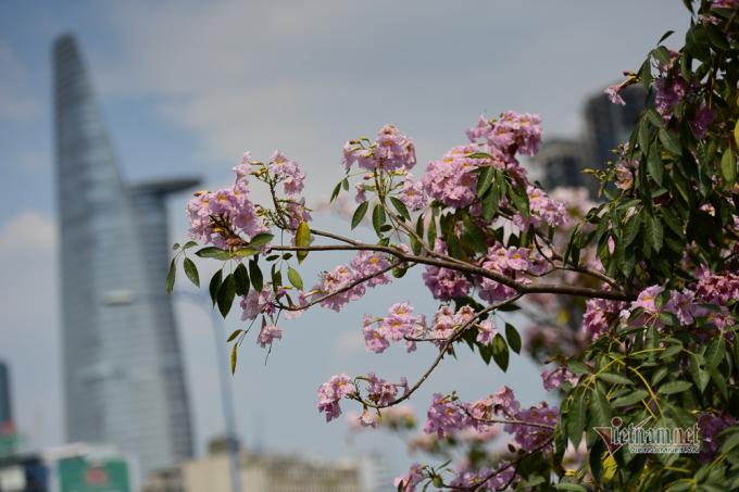 Loài hoa cho bông nhỏ, màu hồng tím nhạt. Vì màu hoa không quá sặc sỡ khiến ai đi qua cũng muốn ngắm nhìn.