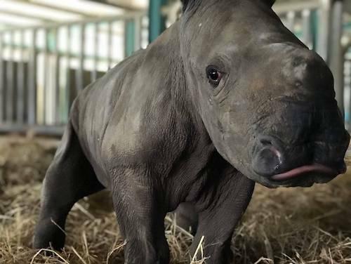 Cá thể tê giác mới được đặt tên là Winnie