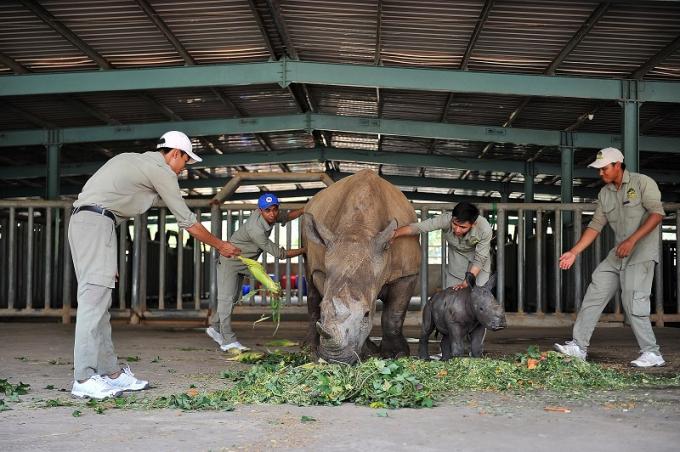 Vinpearl Safari Phú Quốc chào đón cá thể tê giác thứ 3 ra đời giữa mùa dịch