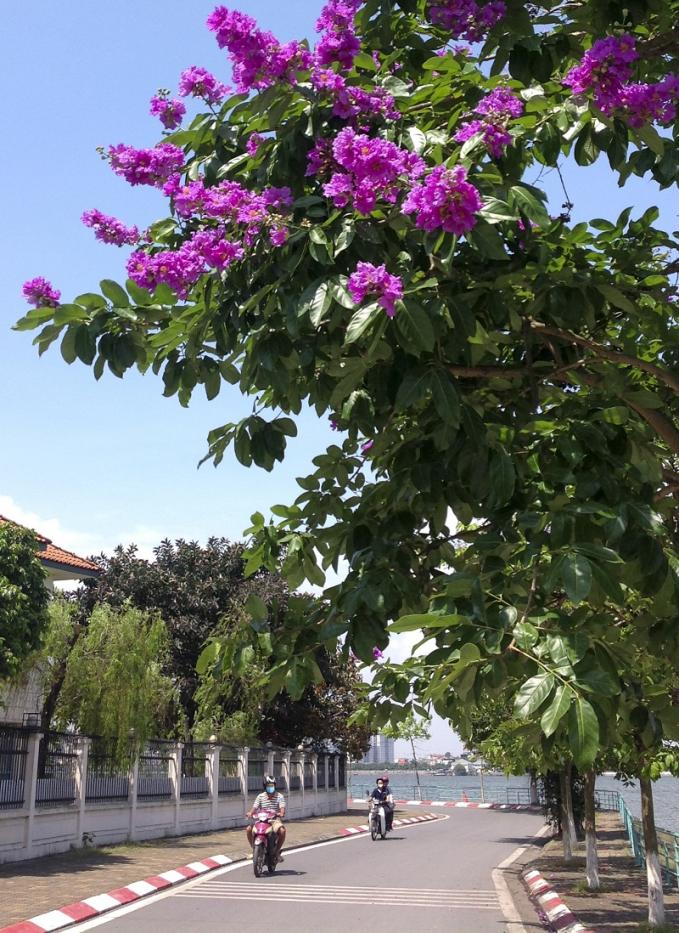 Không chỉ có muồng hoàng yến, trên một số tuyến đường, hoa bằng lăng cũng đang độ nở rộ, tô thêm sắc tím rực rỡ đầu hè.