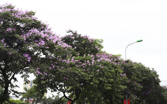 Cây bằng lăng được trồng nhiều trên các tuyến đường như: Văn Cao, Kim Mã…