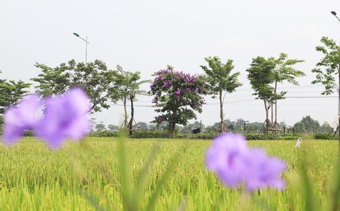 Chùm ảnh: Sắc hoa đầu hè rực rỡ nhuộm khắp phố phường Hà Nội