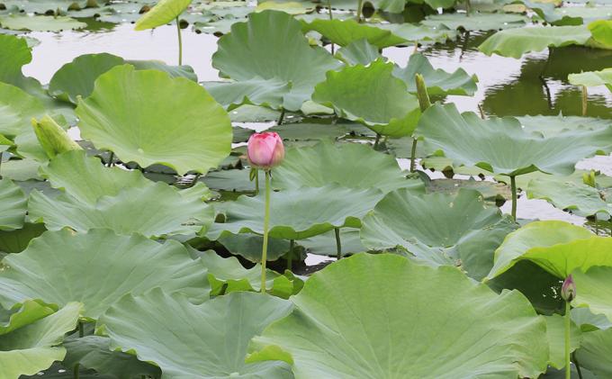 Hoa sen cũng bắt đầu nở ở khu vực hồ Tây. Ở quanh Hà Nội, bạn có thể đến các đầm sen Xuân Đỉnh, đầm sen hồ Quan Sơn, đầm Sen ở Nam Hồng, đầm sen Bát Tràng, hồ sen Ninh Xá hay ao sen ở làng cổ Đường Lâm.