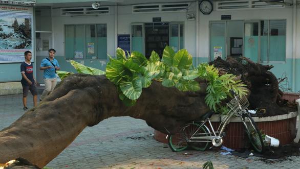Cây bị bật gốc là một cây phượng vĩ lớn - Ảnh: Phụ huynh