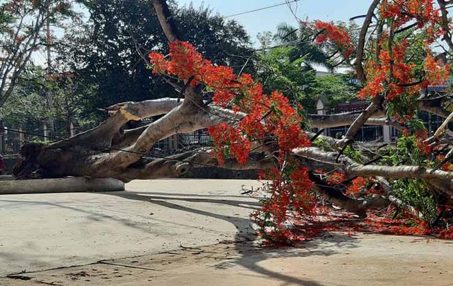 Thêm một cây phượng bật gốc ngã trong sân trường