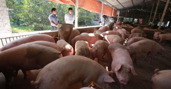 Việt Nam lần đầu tiên nhập khẩu heo sống nguyên con
