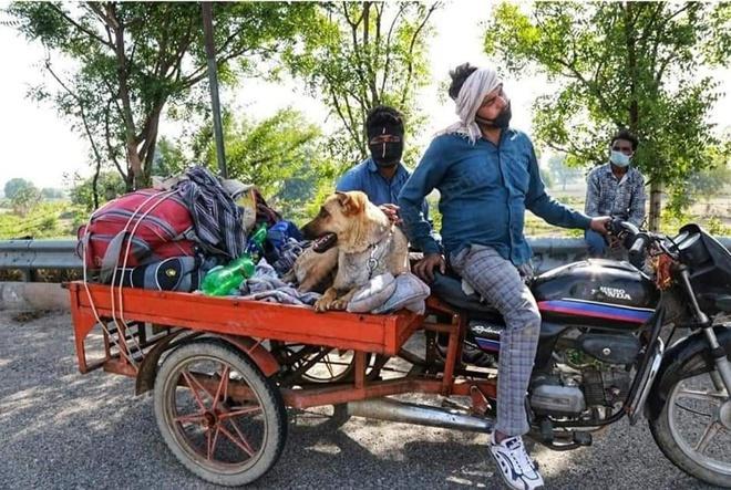 Người dân Ấn Độ trong thời gian này đã kêu gọi nhận nuôi động vật bị bỏ rơi khi chủ nhân của chúng thất nghiệp vì dịch bệnh.Các nhà hoạt động vì động vật lo ngại sau khi dịch bệnh được kiểm soát và mọi người trở lại làm việc, các thú nuôi có thể sẽ bị bỏ rơi một lần nữa.Ảnh:Twitter.