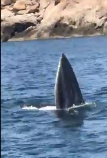 Cá voi săn mồi ở vịnh Cam Ranh sáng 25-6 - Ảnh: CAO NGỌC QUANG