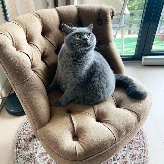 Chú mèo béo bị chứng bệnh vẹo cột sống truyền cảm hứng trên mạng xã hội