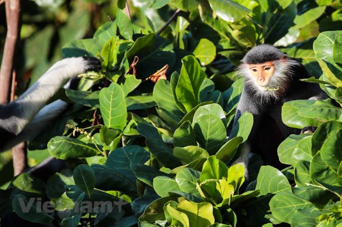 Cuộc sống hạnh phúc của Voọc chà và chân nâu tại Bán đảo Sơn Trà.
