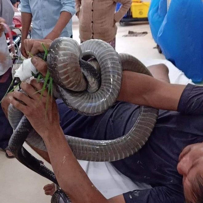 Một người ở Tây Ninh bị rắn hổ mang cắn, đem cả