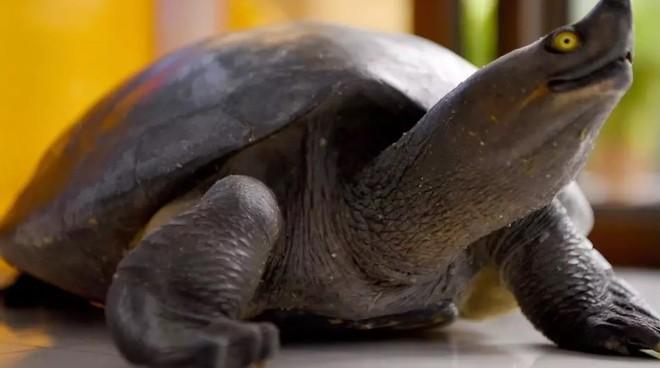 Các loài ba ba nằm trong danh sách có nguy cơ bị tuyệt chủng tại nhiều nơi trên thế giớiAFP