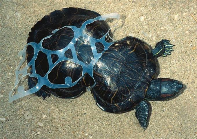 Chú rùa mắc kẹt trong mảnh nhựa và lớn lên với một chiếc mai đã bị biến dạng.