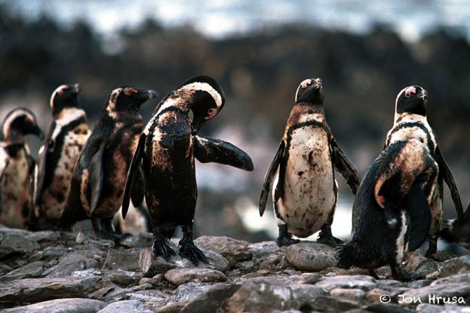 Những con chim cánh cụt đen sì vì bị dầu rò rỉ bám dính toàn thân.